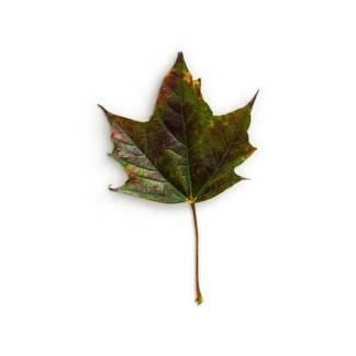 item-cover-maple-3-leaf-1