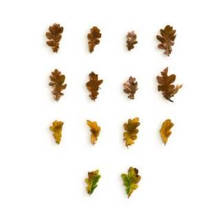 item-cover-oak-leaves-pack