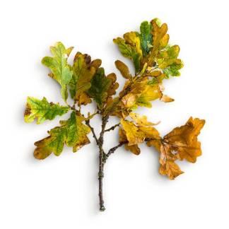 item-cover-oak-stick-leaves-3