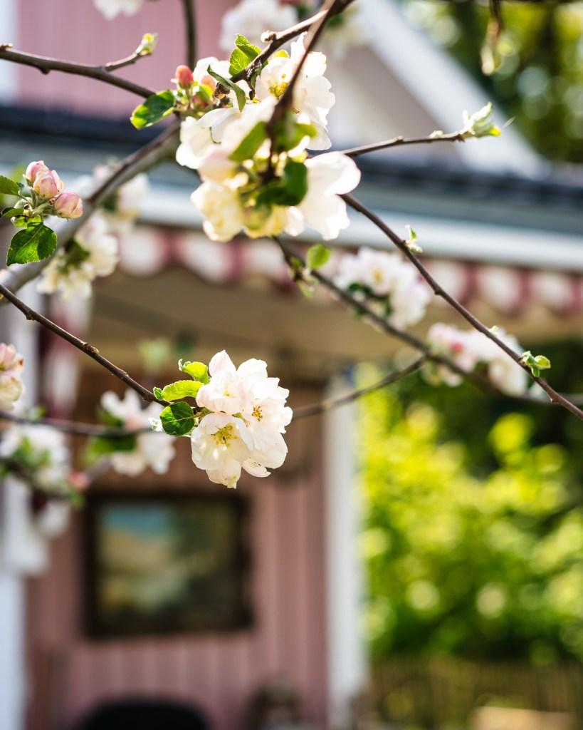 Unser Apfelbaum blüht am Rosa Haus