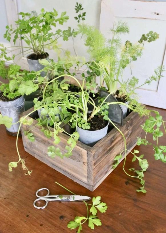 herb garden: parsley, thyme, mint