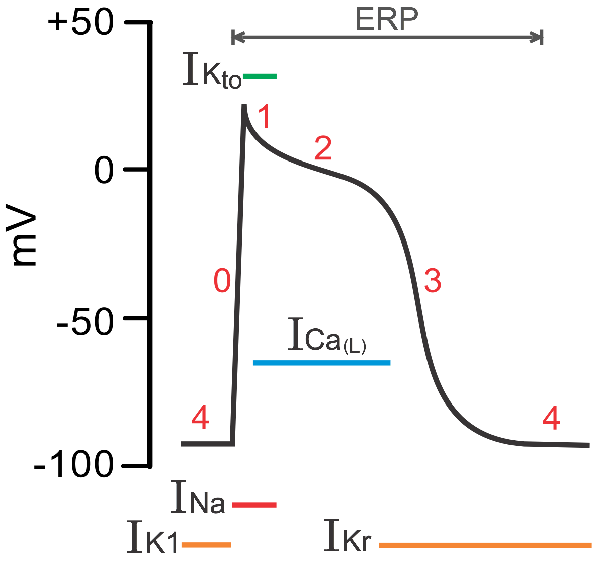 Cv Physiology Non Pacemaker Action Potentials