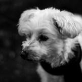 mein treuer Begleiter Mikey als schwarz-weiß Fotografie. Es sind nur die Augen scharf abgebildet, da mit einer extrem weit geöffneten Blende gearbeitet wurde.