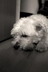 Mein Hund, wie er an der Tür liegt und wartet, dass sich diese öffnet