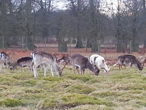 Yes dear, it's the Dunham Massey deer, dear