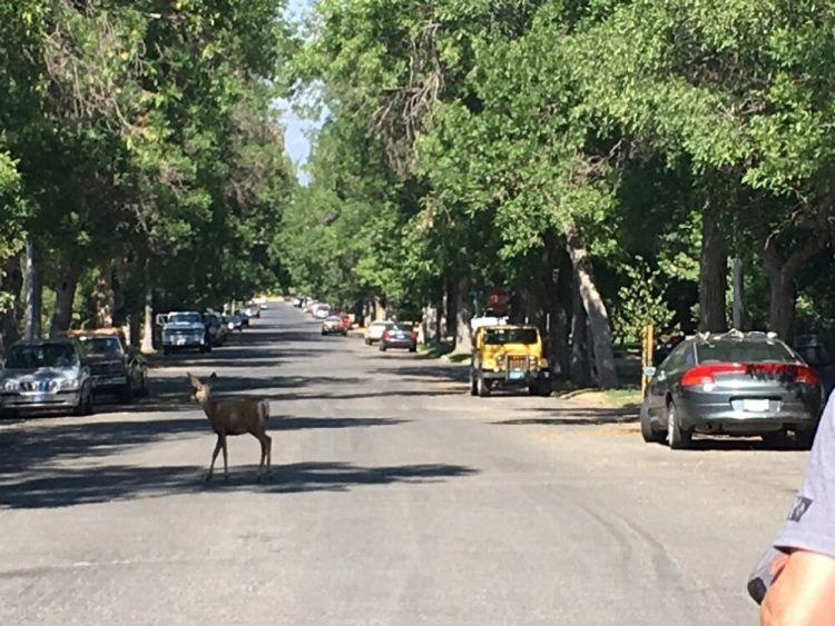 Deer in road in Helena