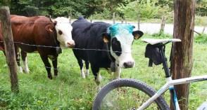 Punk Rock Cow