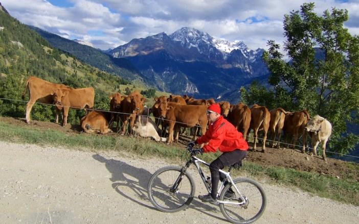 Cow Spectators