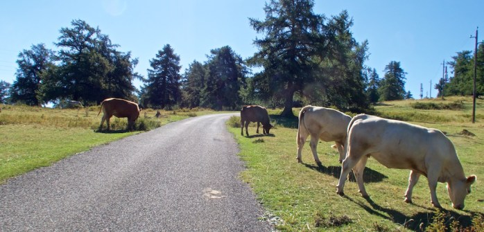 Bored cows