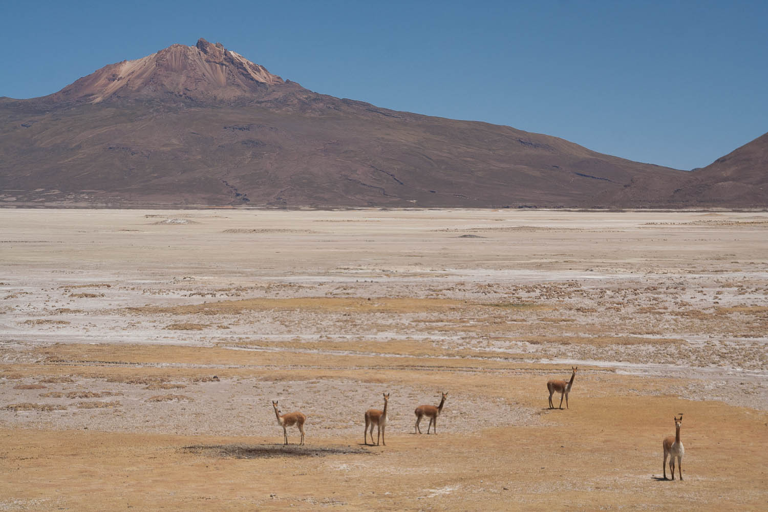 Are these lama´s=