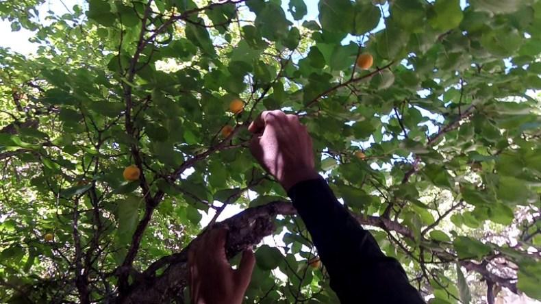 Apricot Tree in Garkone