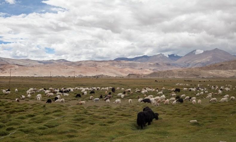 Sheep and yak in Hanle