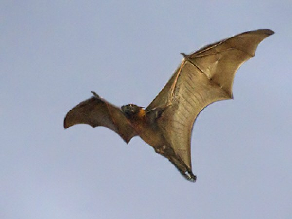 sunda-flying-fox_6736