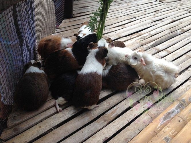 feeding guinea pigs at the fun farm