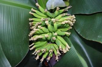 Banánovník foto E.Gombala