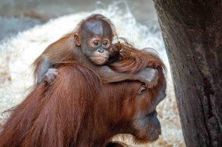 Pustakawan, sameček orangutana sumaterského