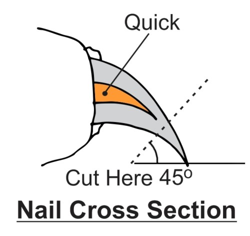 Where to clip dog nails and quick