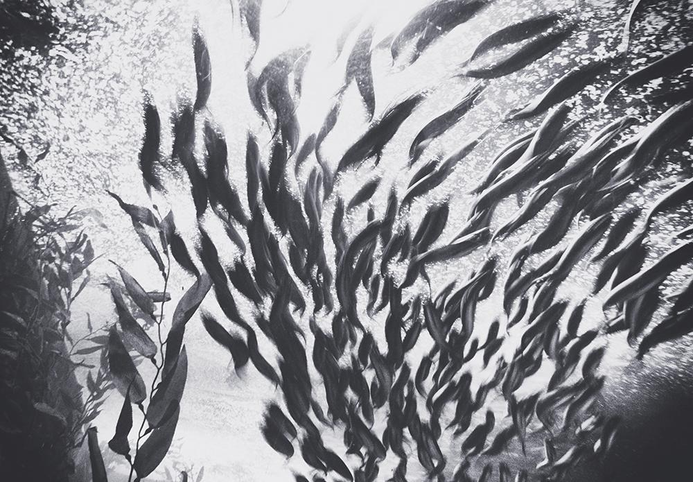 Black and white photo of a school of fish.