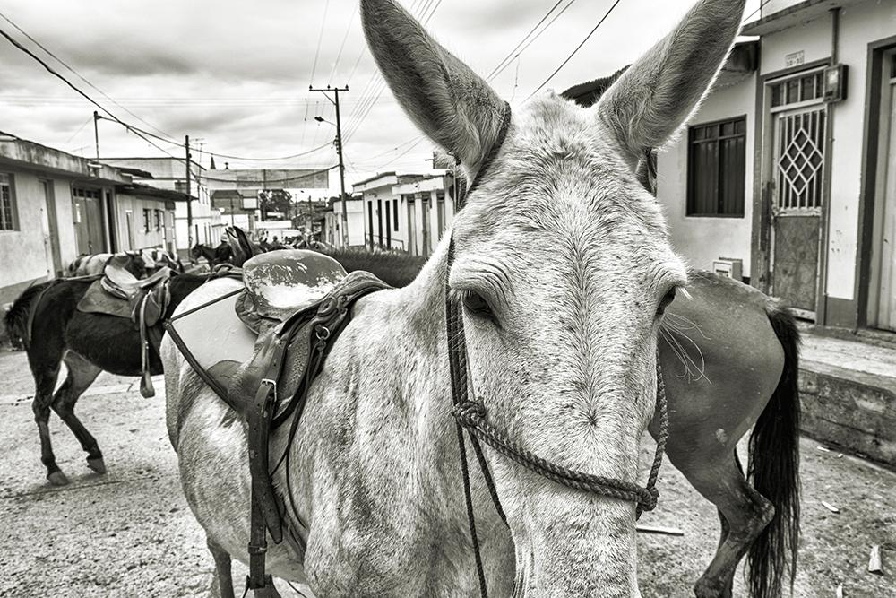 Black and white photo of mules blocking a road in a town.