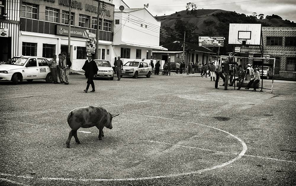Black and white photo of a pig on an outdoor basketball court.