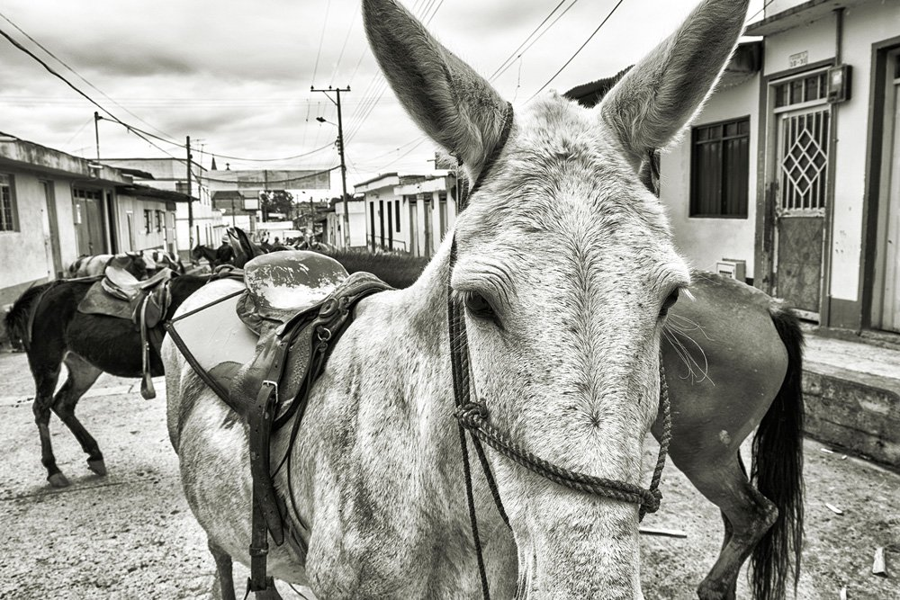 Big Picture from Colombia: A meeting of mules in Tolima