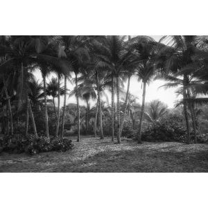 A grove of palm trees on the beach in Palomino, Colombia.