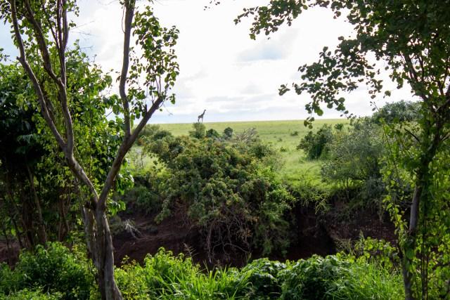 View of the Maasai Mara and a Giraffe across the River Talek