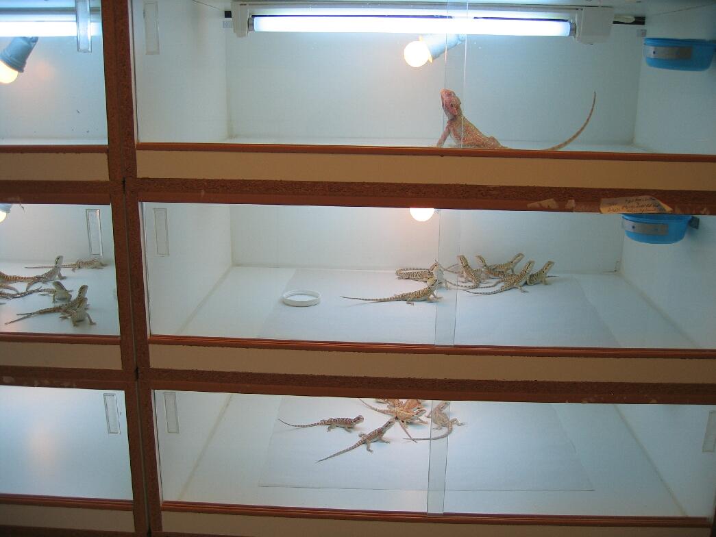 Breeding Facility | Dachiu Bearded Dragons