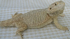 Hypo/Snow Bearded Dragon
