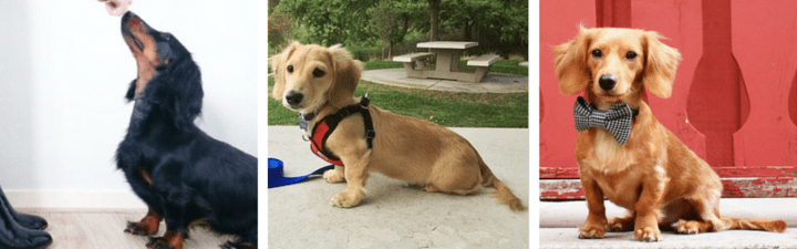 Teaching your Dachshund to Sit on Command