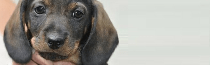 A Dachshund's Personality