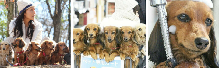 Japan: The Woman with Six Dachshunds