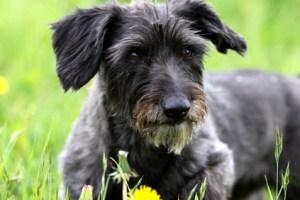 Dackel Terrier Mischling