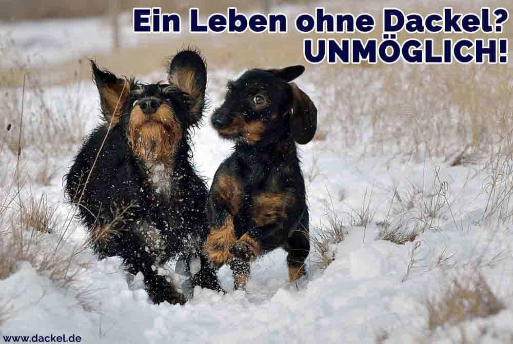 Zwei Dackel im Schnee spielen