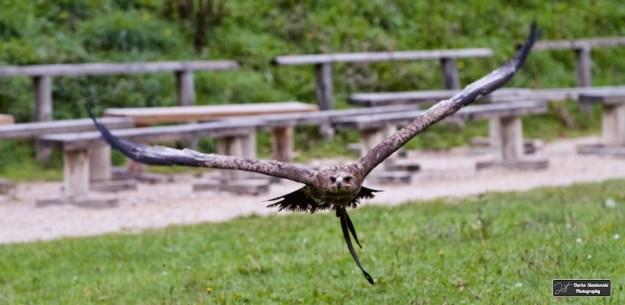 Un aigle royal durant le spectacle de rapaces à l'Espace Rambouillet)(D.Stankovski)
