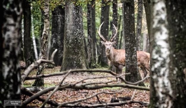 Un cerf dans la foret sauvage de l'Espace Rambouillet.
