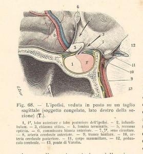 Testut e Jacob, 1906 - ipofisi