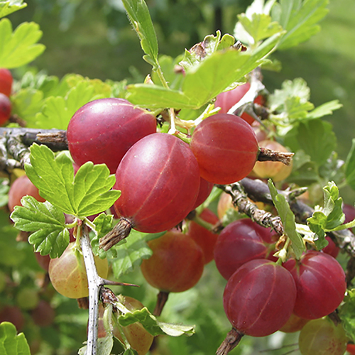 Daffy's Red Gooseberries