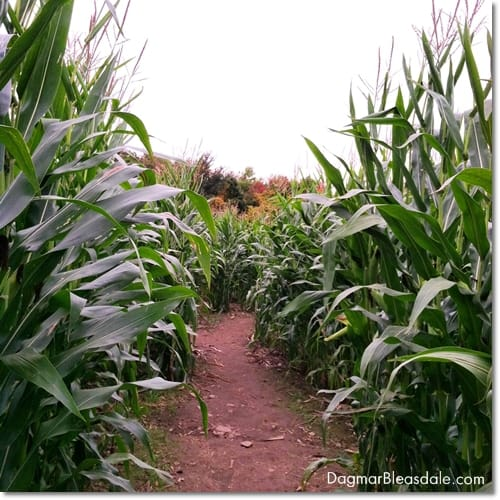 corn maze corn field