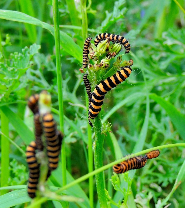 Larvas de cinabrio alimentándose de hierba cana. Crédito: Callum McLellan