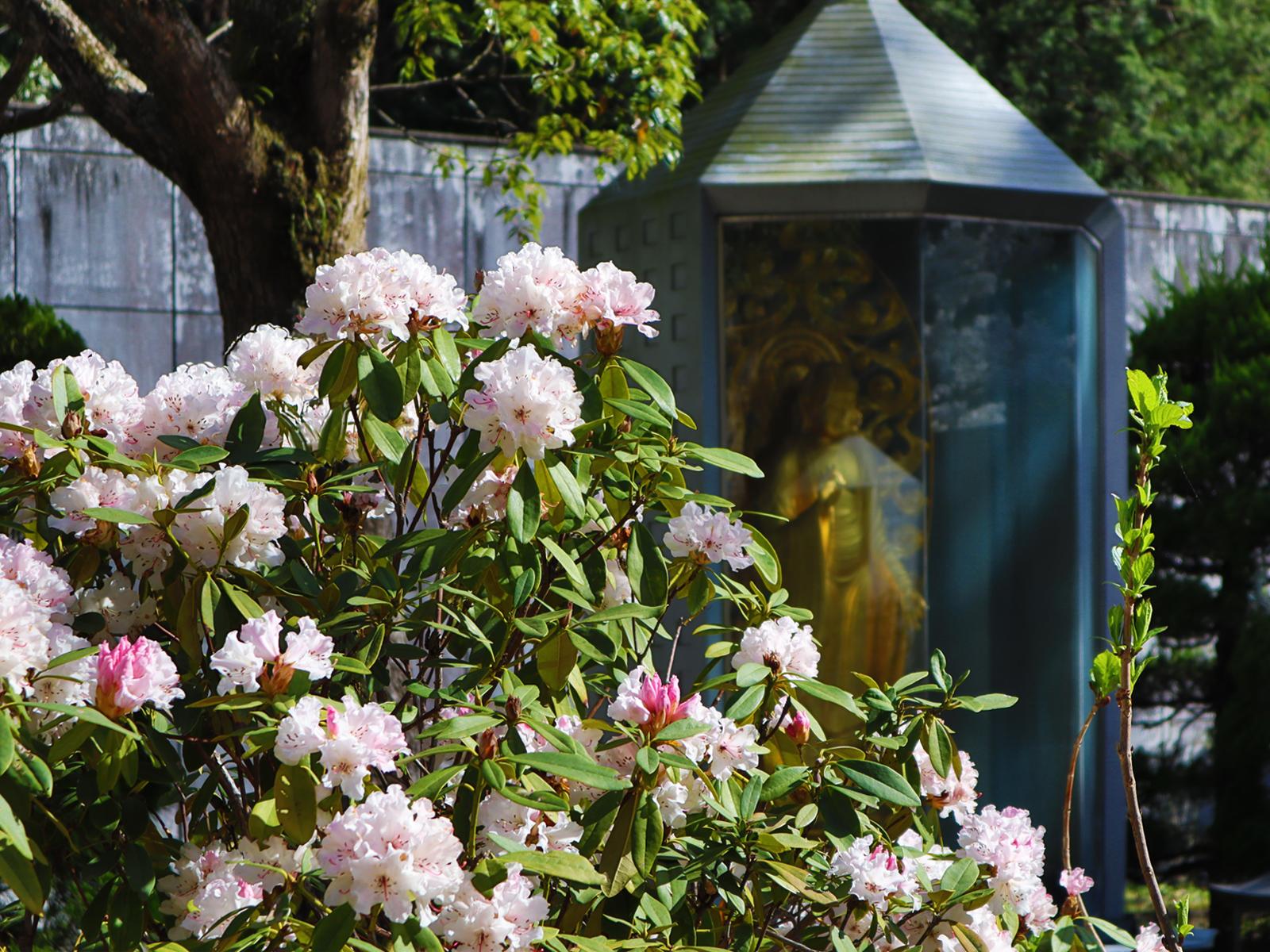 大観音寺の四季「春」和シャクナゲ