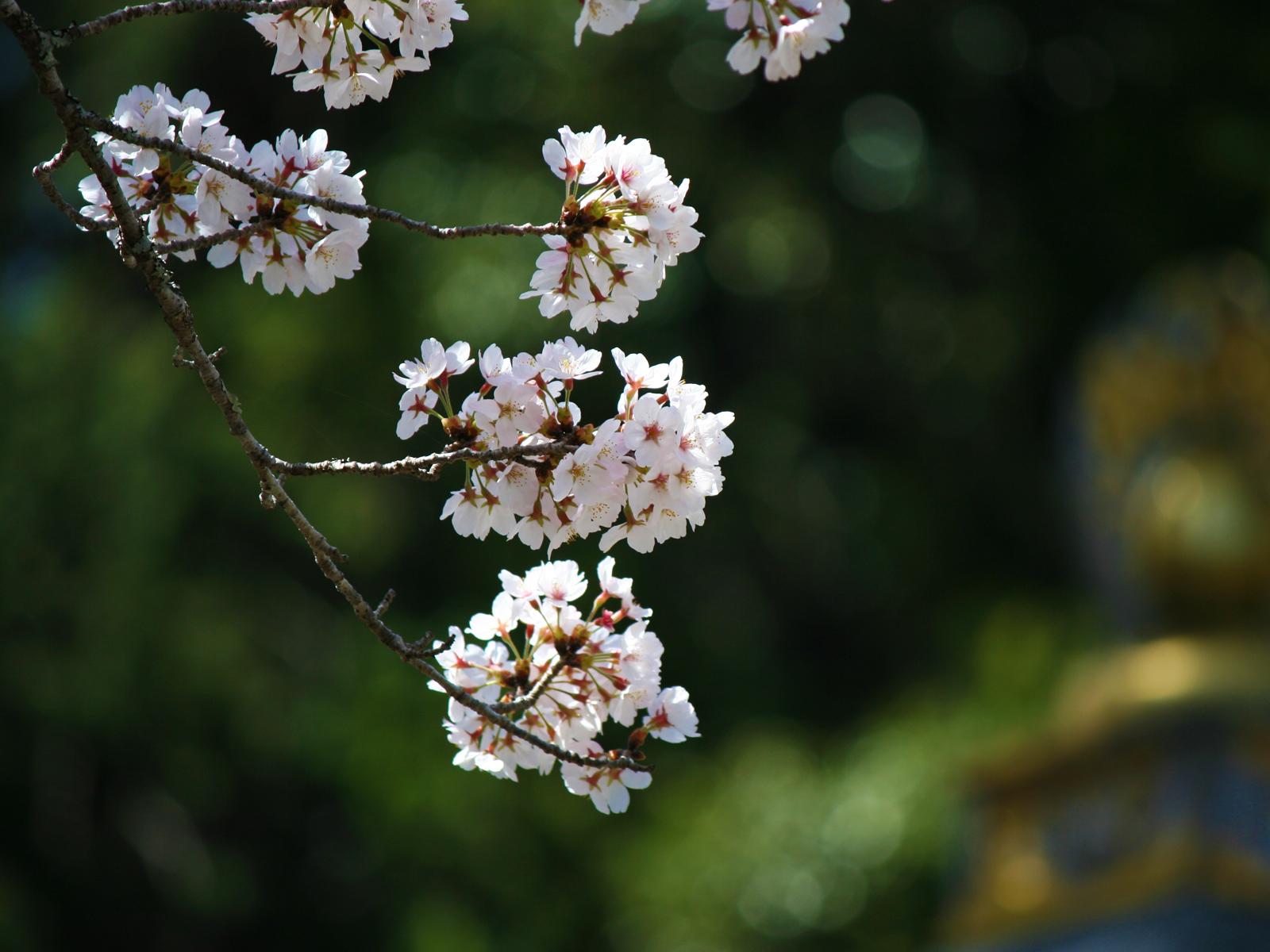 大観音寺の四季「春」山桜