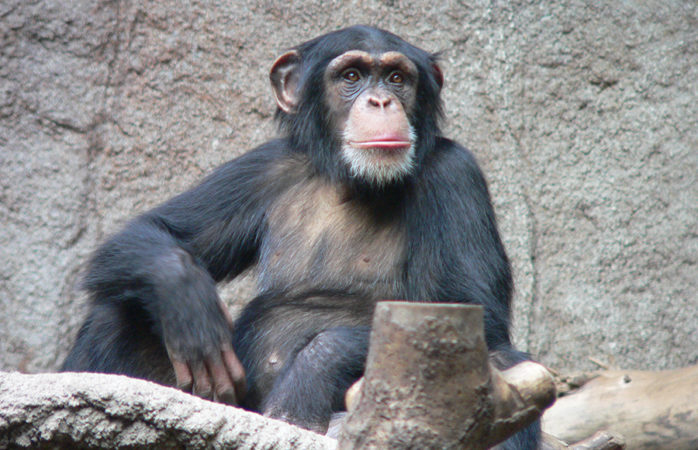 If you give a chimp a mirror