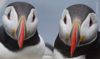 Photo of puffin