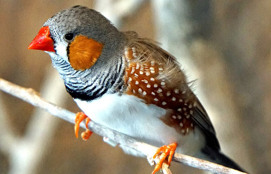 Photo of a zebra finch
