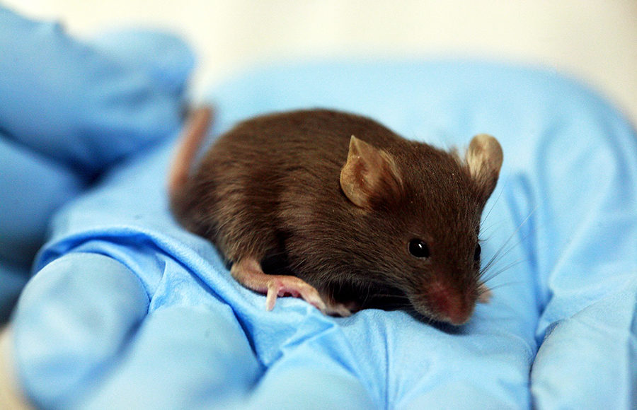 Photo of a lab mouse