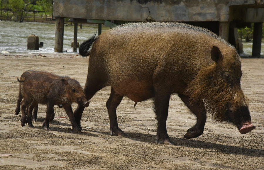 Photo of bearded pigs