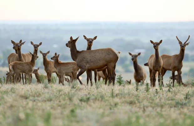 A small group of elk are ...