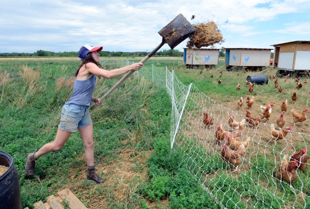 Chloe Johnson, gives her chickens grain ...