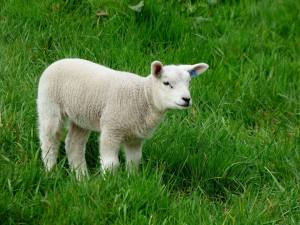The Perfect, Spotless Passover Lamb
